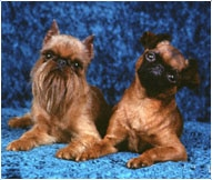 The Brussels Griffon Dog Breed