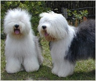 The Old English Sheepdogs Dog Breed