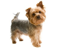The Silky Terrier Dog Breed